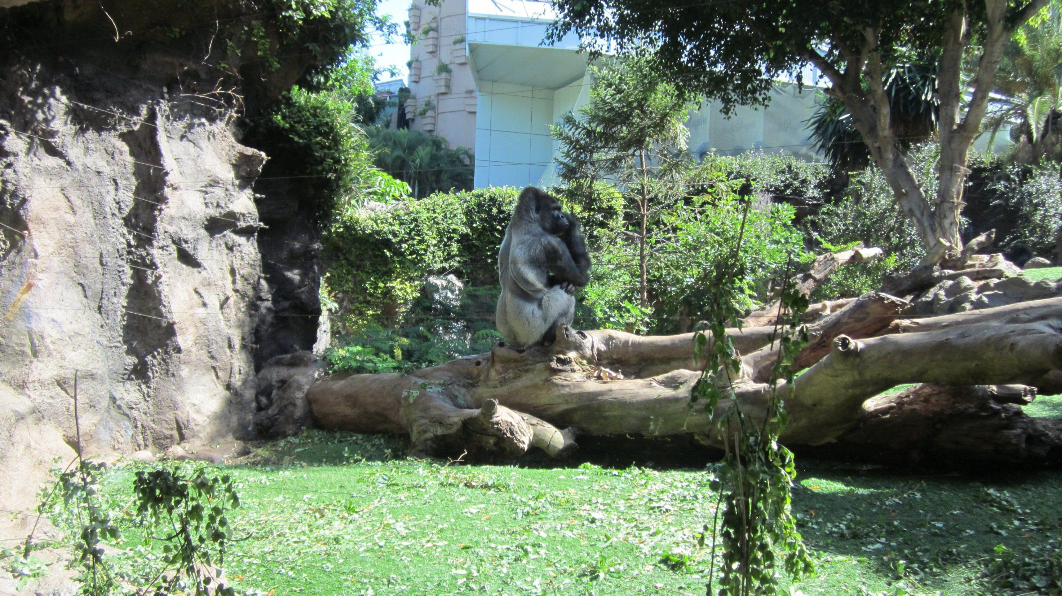 лоро парк гориллы